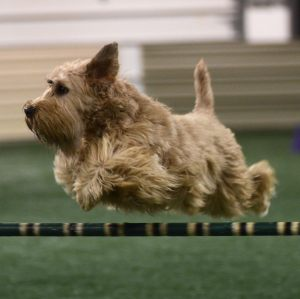 Dillon - a Soft Coated Wheaten Terrier doing what came naturally, agility