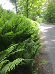 Beautiful ferns along the country road outside Woodstock